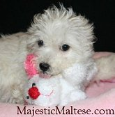 Majestic Maltese, NC, VA, Maltese, Maltipoo puppies for sale